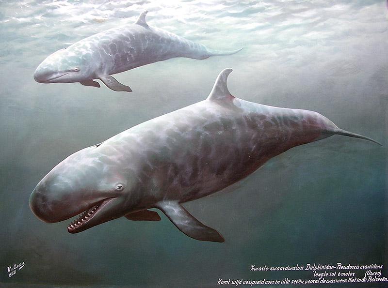 Zwarte zwaardwalvissen