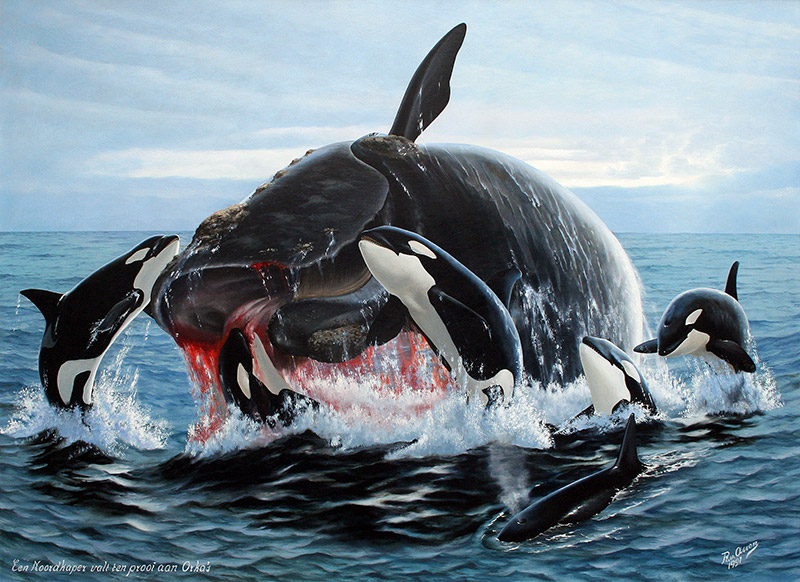 Noordkaper aangevallen door orka's