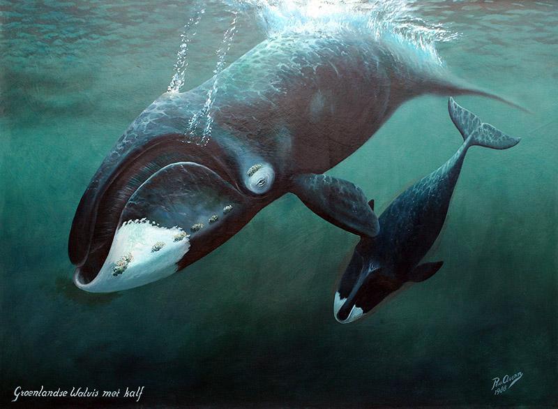 Groenlandse walvis met kalf