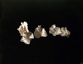 Witte Lathyrus
