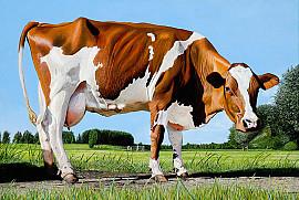 Koe van Graven 92 uit Lisse