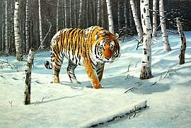 Siberische tijger in de sneeuw