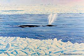 Een Groenlandse walvis spuit