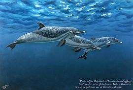 Slanke dolfijn